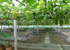 阳光玫瑰葡萄多少钱一斤