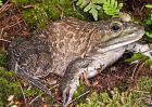 夏季牛蛙管理要点
