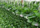 怎样种植绿萝