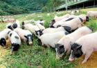 香猪养殖技术要点