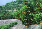 橙子保花保果技术