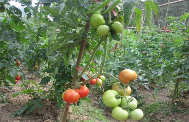 西红柿栽培技术 西红柿栽培