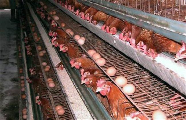 蛋鸡产前注意事项