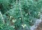 西红柿栽培技术