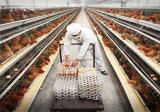 影响蛋鸡产蛋率下降的因素