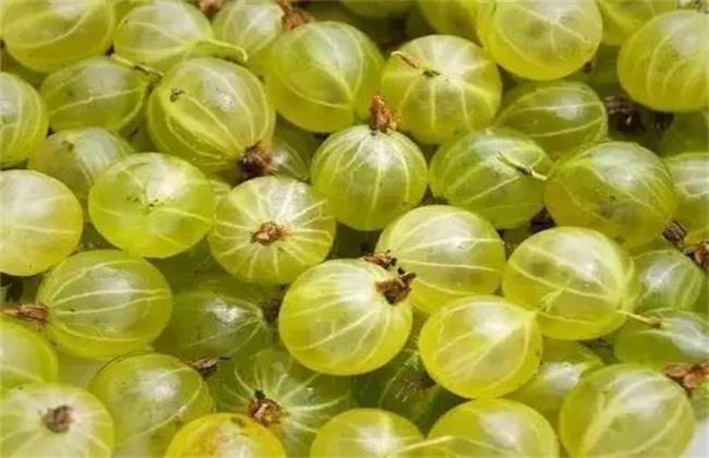 鹅莓的种植技术