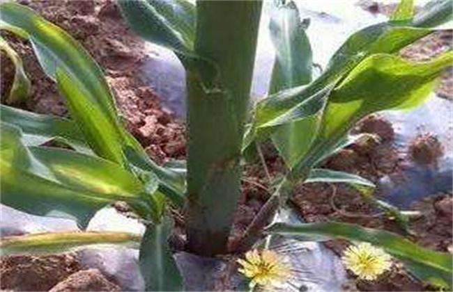 玉米分蘖原因及防治方法