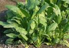 菠菜怎样种才高产
