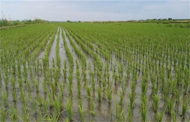 水稻分蘖过多解决措施