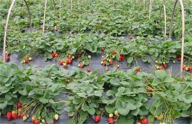 草莓异常果发生原因及防止措施