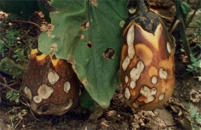 茄子褐纹病 防治方法 症状