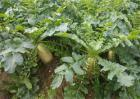 秋萝卜种植技术