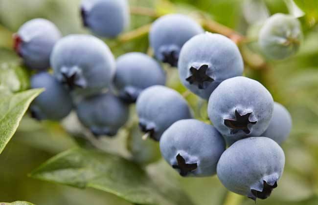 蓝莓功效作用 蓝莓 功效作用