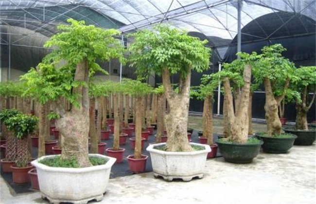 幸福树 养殖方法 注意事项