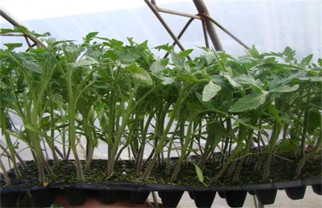 番茄快速育苗 番茄育苗 番茄