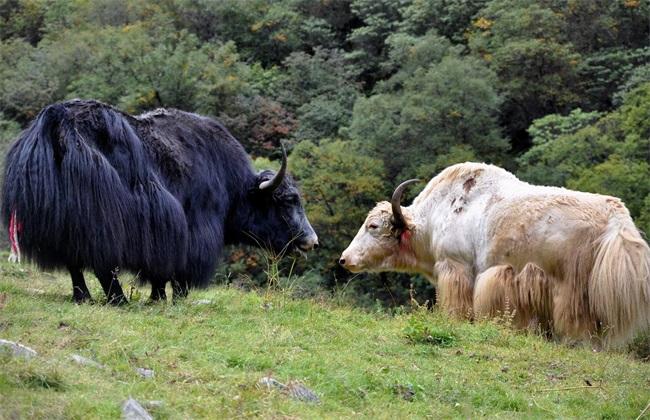 牦牛养殖技术 牦牛养殖 牦牛