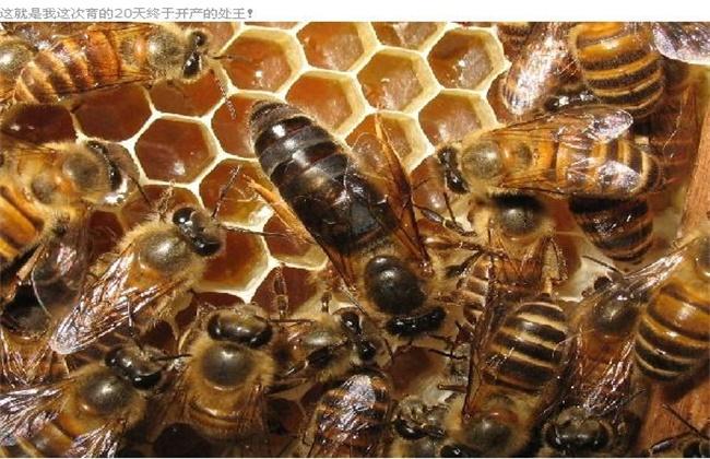蜂王交尾失败的四大原因