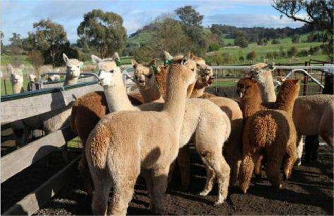 羊驼夏季饲养管理要点