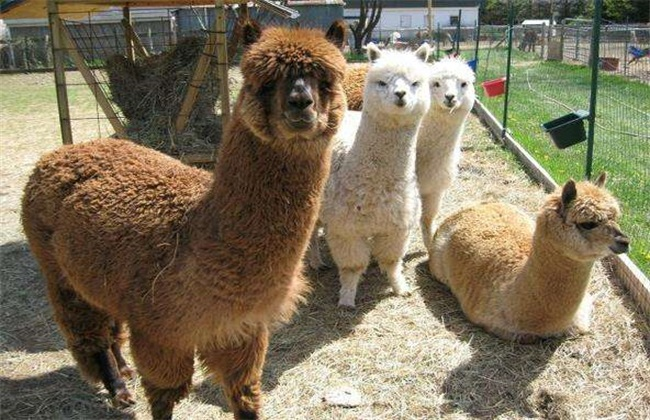 羊驼夏季饲养 管理要点 羊驼