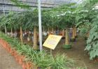 幸福树的养殖方法与注意事项