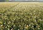 蒲公英种子怎么种植