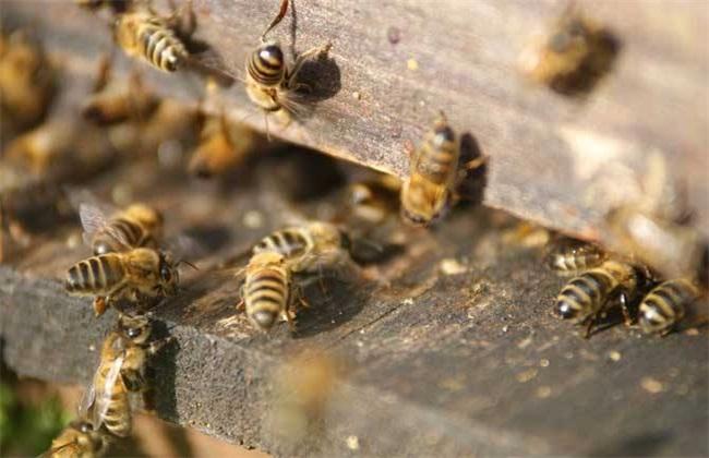 蜜蜂蜂王几天出巢