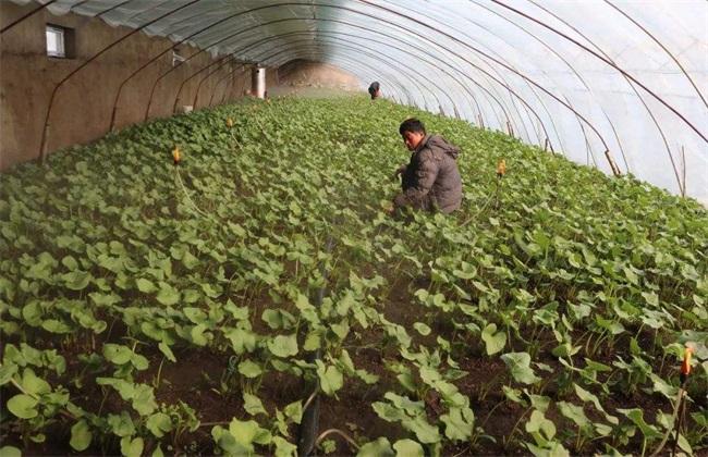 野菜种植前景 野菜种植 野菜