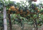 黄晶果的种植技术
