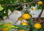 黄晶果多少钱一斤