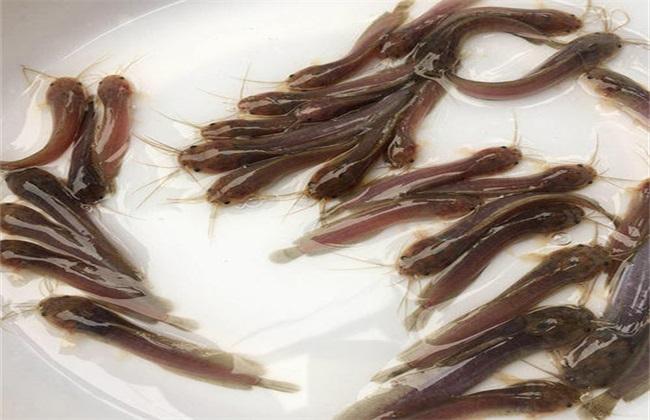 鲶鱼养殖方法