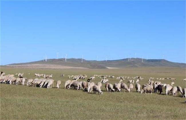 夏季肉羊放牧 肉羊 注意事项