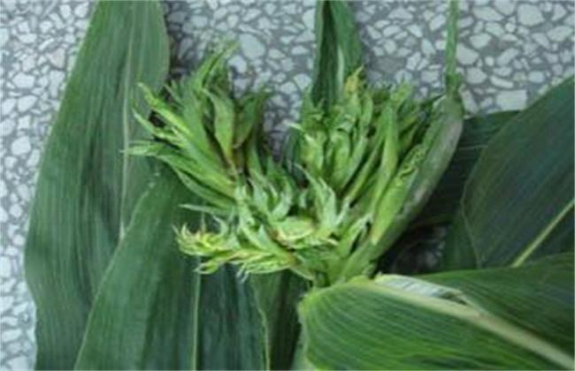 玉米疯顶病的预防措施