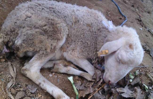 羊的常见病防治