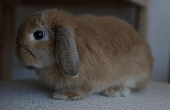常见兔子品种及图片