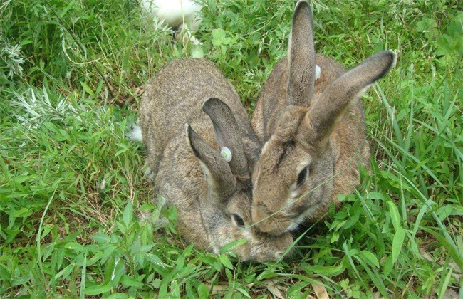 比利时野兔