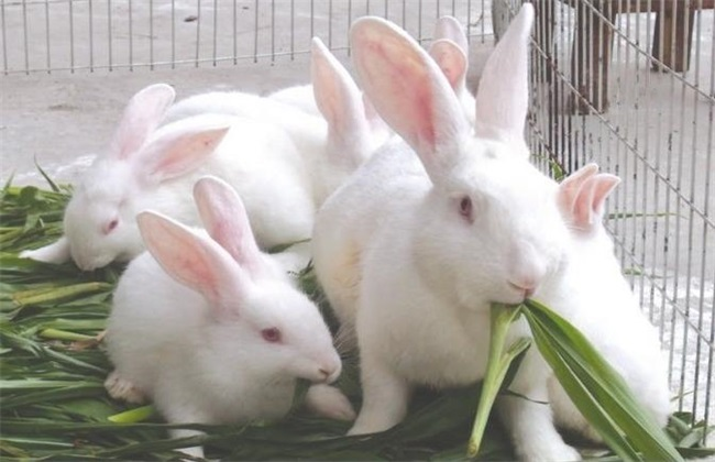 新西兰兔子