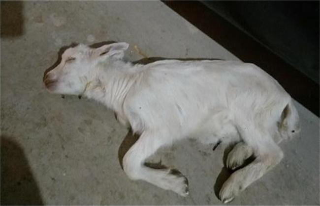 羔羊死亡率高原因及预防措施