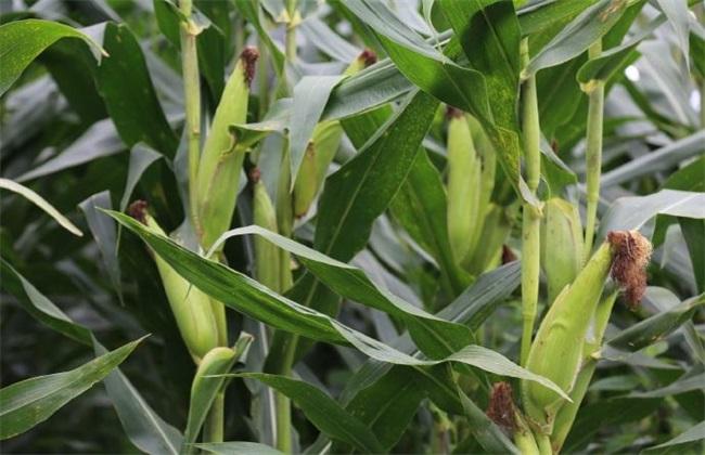 如何预防 玉米 高温危害