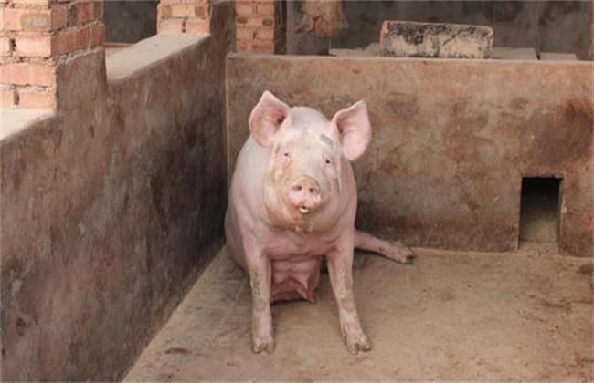 如何预防母猪夏季流产