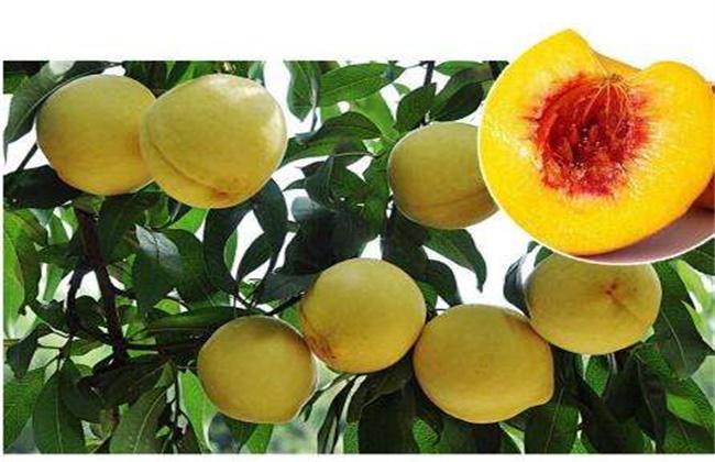 炎陵黄桃多少钱一斤
