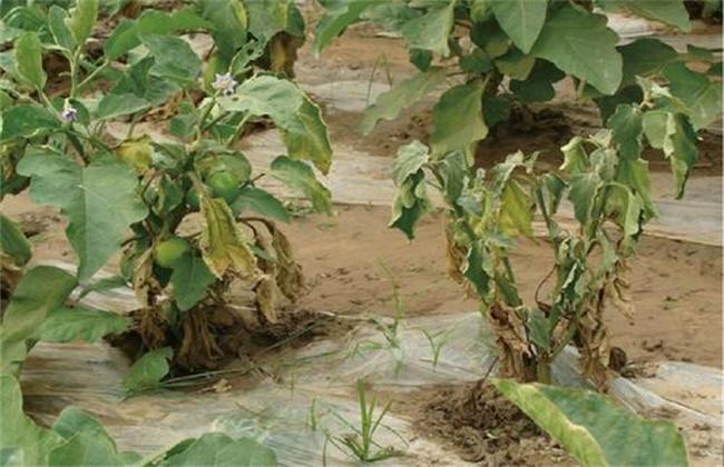 茄子黄萎病防治方法