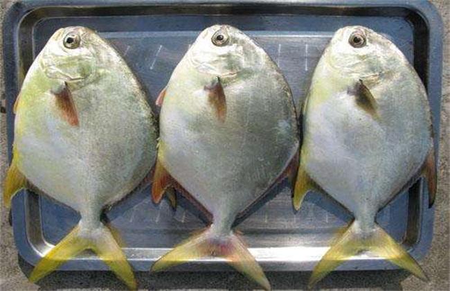 鲳鱼营养价值及功效