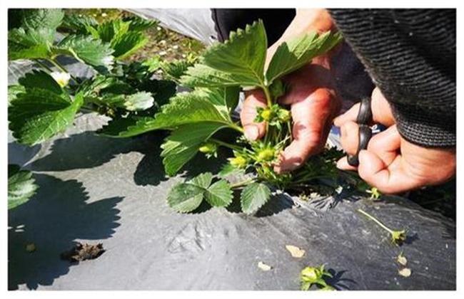 草莓疏花疏果技术