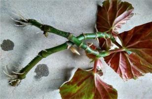 竹节海棠怎么扦插