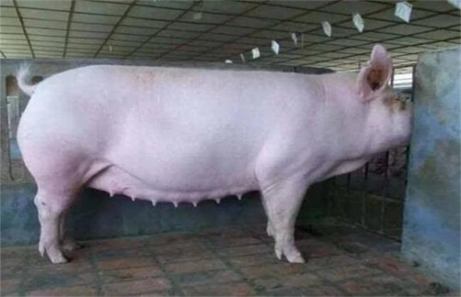 母猪滑胎的预防措施