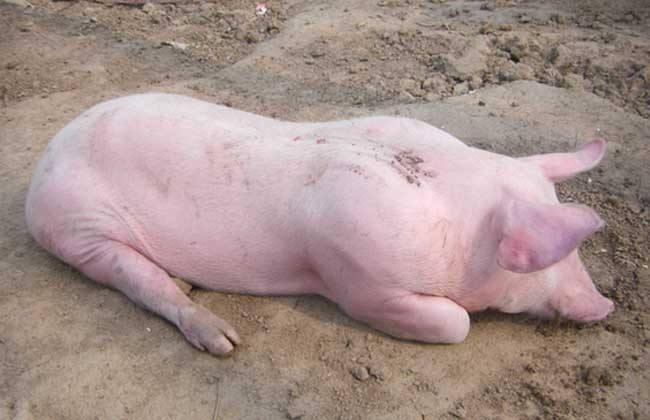 母猪产后身体发热怎么办