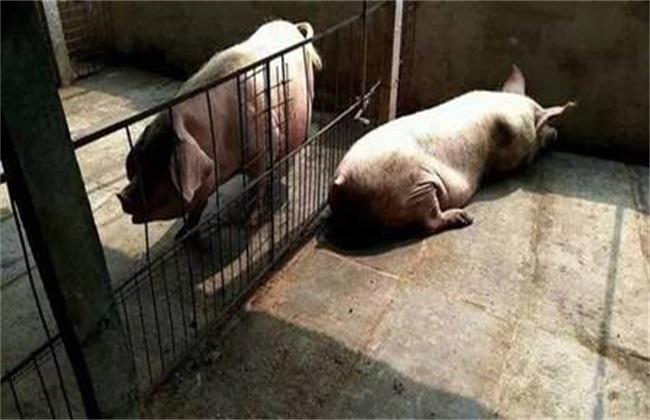母猪产后热 产后热 治疗方法