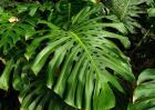 龟背竹养殖方法和注意事项