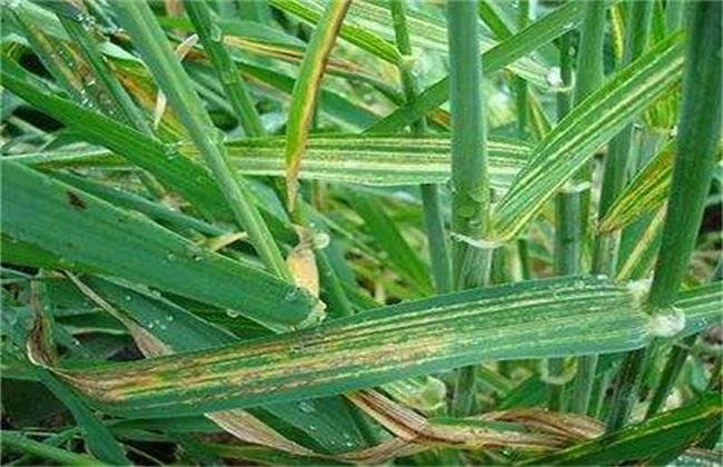 小麦花叶病防治方法