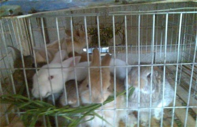 肉兔各个时期饲养管理
